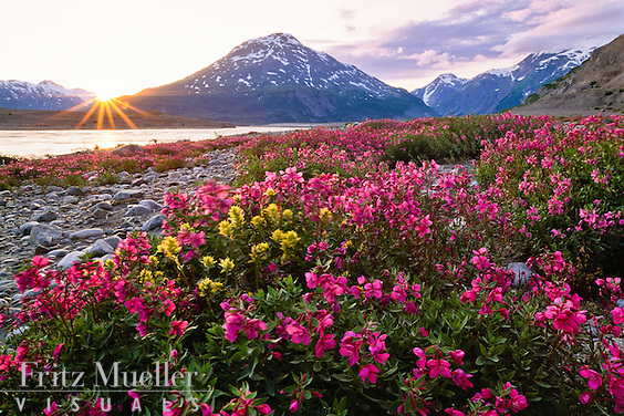 Fireweed and paintbrush in bloom along the Alsek River