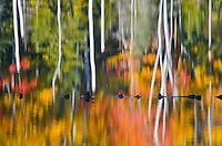 Fall color and Birch ttree trunks are abstracted in the waters of Red Jack Lake in the Hiawatha National Forest, Alger County, Michigan