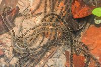 """Desova de sapo (Rhinella sp) em poça temporária formada pela cheia do Rio Xingu.<br /> .<br /> Imagem feita em 2008 durante estudo de diagnóstico da flora e da fauna na área de influencia do empreendimento """"Aproveitamento Hidroelétrico Belo Monte"""". Rio Xingu, Estado do Pará, Brasil."""