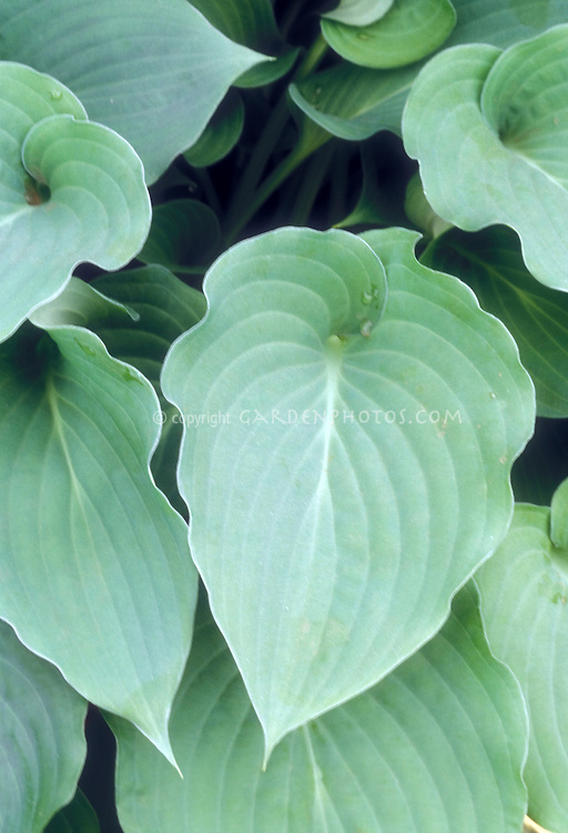 Hosta Pearl Lake