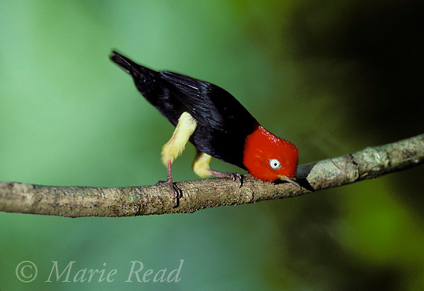Red-capped Manakin (Pipra mentalis) male during courtship display, Soberania National Park, Panama.<br /> Slide # B103-504