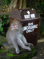 A monkey hoping to get hold of something eatable waits by a garbage bin by Monkey Forest in Ubud.