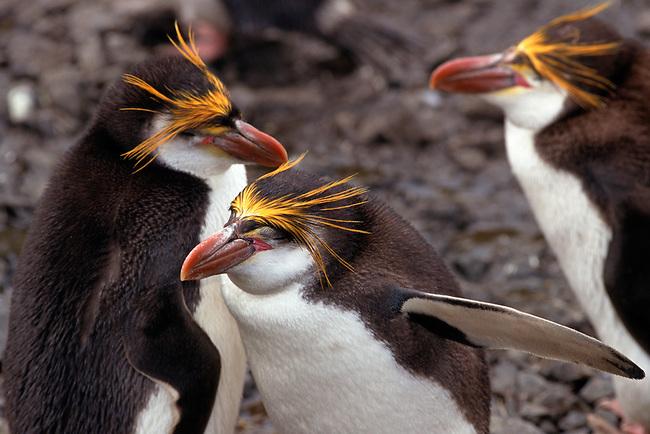 Royal Penguins, Eudyptes schlegeli, preen each other. Sandy Bay. Macquarie Island. Sub Antarctic Islands