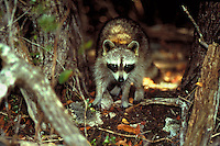 ONCE RACCOONS ABOUNDED, NOW FEW ARE SEEN AS THEIR HABITAT DISAPPEARS, ECOLOGY, WILDLIFE, ENVIRONMENT,. NO NAME KEY FL.
