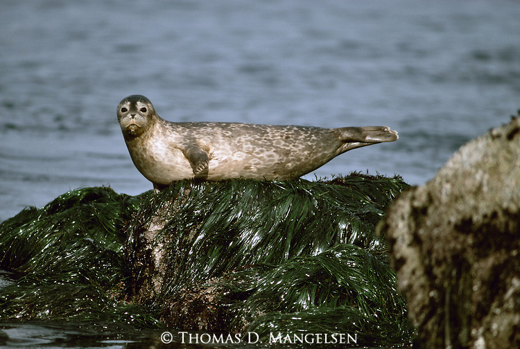Portrait of a Harbor Seal laying on a rock.