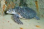Eretmochelys imbricata, Hawksbill sea turtle, Florida Keys