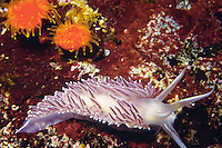 Red-Gilled Nudibranch (flabellina verrucosa), British Columbia, Canada.
