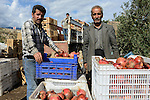 TURKEY, Antakya, kurdish farm worker harvest pomegranate / TUERKEI, Antakya, kurdische Landarbeiter ernten Granatapfel