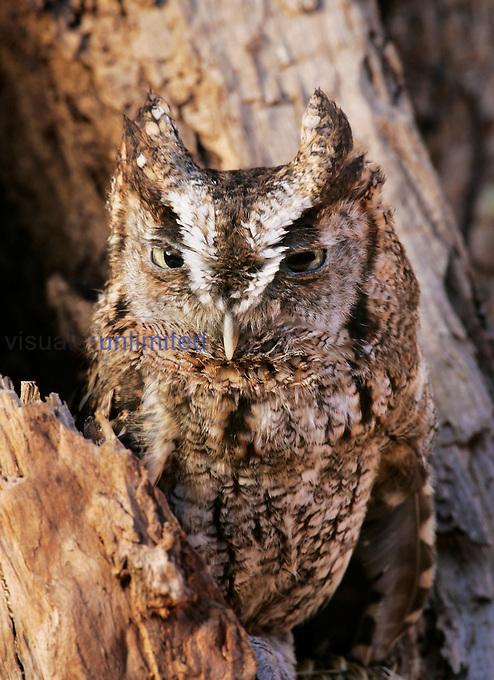 Eastern Screech Owl ,Otus asio,, Eastern USA.