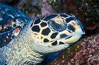 Hawksbill turtle, Eretmochelys imbricata, resting on bottom, St. Peter and St. Paul's rocks, Brazil, Atlantic Ocean