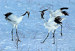 Red Crowned Crane, Grus japonensis, group, dancing, displaying, together, wings open, Hokkaido Island, japanese, Asian, cranes, tancho, crested, white, black,  wilderness, wild, untamed, photography, ornithology, snow, calling.Japan....