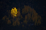 Spotlight on lone aspen tree (Populus tremuloides) within a hillside grove in South Canyon in the Saddle Mountain Wilderness area, Kaibab National Forest, Arizona, USA