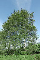 Hybrid between Eastern and Western Balsam-poplars Populus trichocarpa x balsamifera, often referred to as  Populus 'Balsam Spire' HEIGHT to 30m<br /> Conical to slightly spreading tree with numerous ascending<br /> branches arising from a tapering bole; base of bole is often surrounded by suckers. BARK is grey and smooth at first, becoming fissured with age. SHOOTS Young shoots (and 2.5cm-long buds) are covered with shiny resin. LEAVES To 10cm long, rounded and dark shiny green above, paler and downy below. REPRODUCTIVE PARTS Female catkins only. Widely planted in parks and plantations.