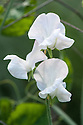 "Sweet pea 'Daphne', late July. A white ""Spencer"" variety."