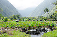 Kalo (or taro) plants, a native Hawaiian staple food, grows in the back of Waipi'o Valley, Hamakua District, Island of Hawai'i.