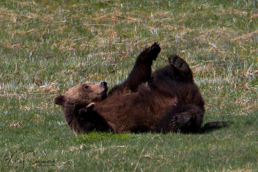 On a warm spring morning, this Grizzly bear (Ursus arctos horribilis) took time out to play with his toes.