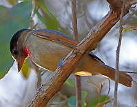 Immature male rose-throated becard