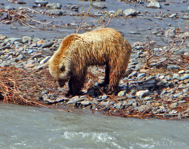 Brown bear digging in gravel bar
