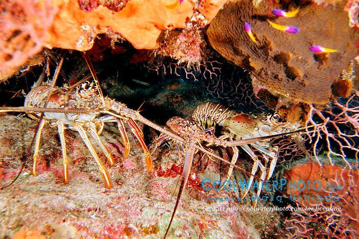 Caribbean spiny lobsters, .Panulirus argus, .Airport Reef, Cayman Brac, .Cayman Islands (Caribbean)