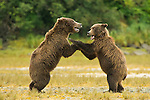 A pair of coastal brown bears play fight along the shore in Katmai National Park, Alaska.
