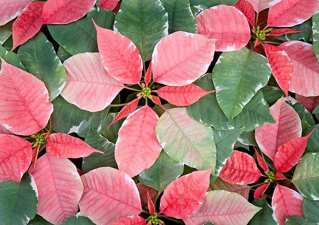 Colorful Poinsettia Arrangement
