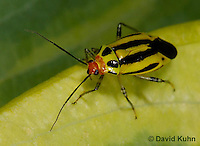 """0625-0801  Four-lined Plant Bug """"Herb, Flower, and Crop Pest"""" - Poecilocapsus lineatus - © David Kuhn/Dwight Kuhn Photography"""