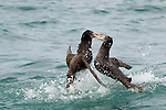 Northern Giant Petrel (Macronectes halli) pair fighting, Kaikoura, South Island, New Zealand, sequence 1 of 5