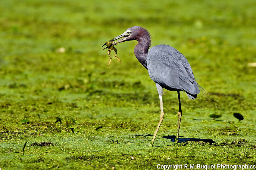 Little Blue Heron eating a frog