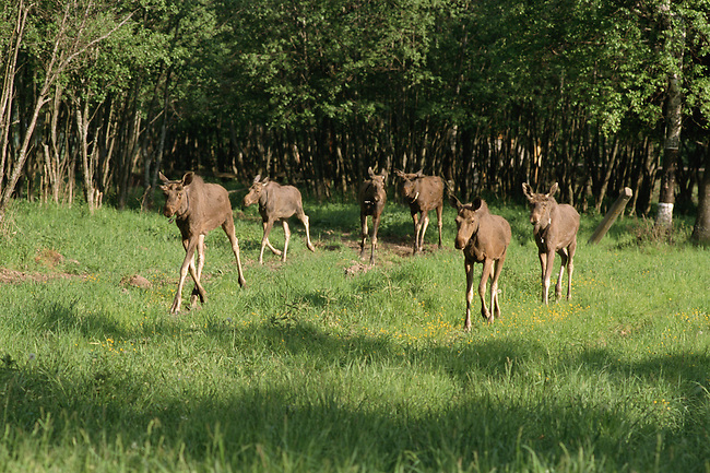 Moose yearlings in an enclosure at the Sumarkova moose farm. Kostroma, Russia.