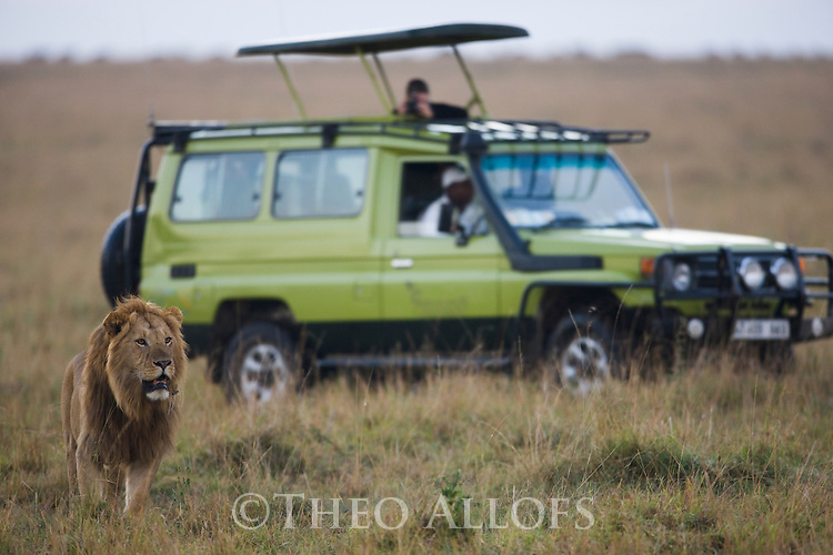 Male lion (Panthera leo) near safari vehicle, Maasai Mara, Kenya