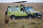 Male lion (Panthera leo) near safari vehicle, Maasai Mara, Kenya