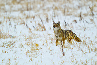 A coyote in Colorado pauses during an early morning hunt to sniff and test the air.