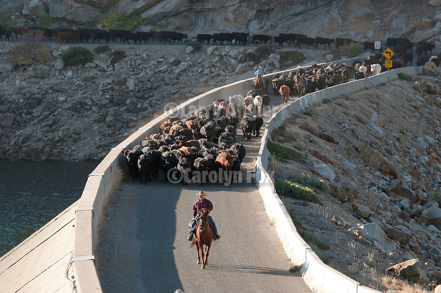 Fall cattle gathering in the central Sierra Nevada near Bear River Reservoir, Calif., driving the catttle across the crest of the dam.