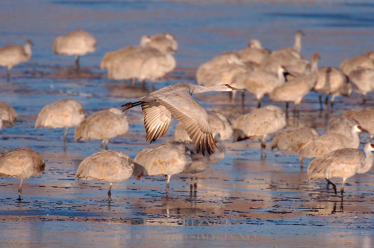 Sandhill Crane Takeoff at Sunrise Grus canadensis Bosque del Apache Wildlife Refuge New Mexico