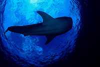 Whale shark, Rhiniodon typus