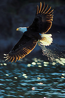 Bald eagle (Haliaeetus leucocephalus) fishing.  Pacific Northwest.