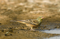 Ortolan Bunting Emberiza hortulana L 15-16cm. Subtly colourful bunting, usually seen here in 1st winter plumage. All birds have diagnostic combination of pale yellow eyering, pink bill, and yellow throat and submoustachial stripe. In addition, summer adult male (seldom seen here) has mainly greenish grey head, neck and breast, orange-brown underparts and streaked, brown upperparts. In addition, all other plumages have streaked pale orange-brown underparts, streaked brown back and streaked greyish head. Voice Calls include thin tsee and tongue-clicking tche. Status Regular passage migrant, mainly in autumn to coastal short grassland and stubble fields.