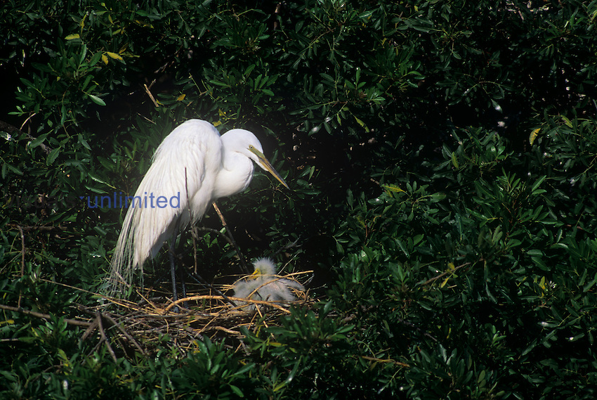 Great Egret at its nest with chicks ,Casmerodium albus,, Florida.