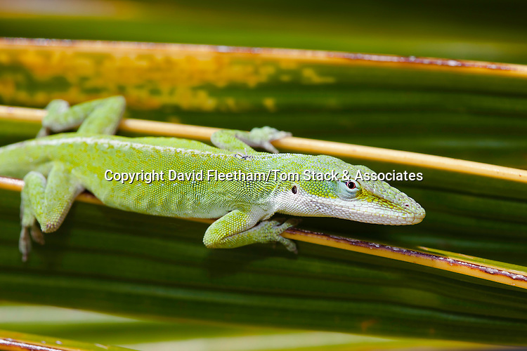 The green anole lizard, Anolis carolinensis porcatus, pictured here on a palm frond, is a native of Cuba and was released on Oahu in 1950, Hawaii.