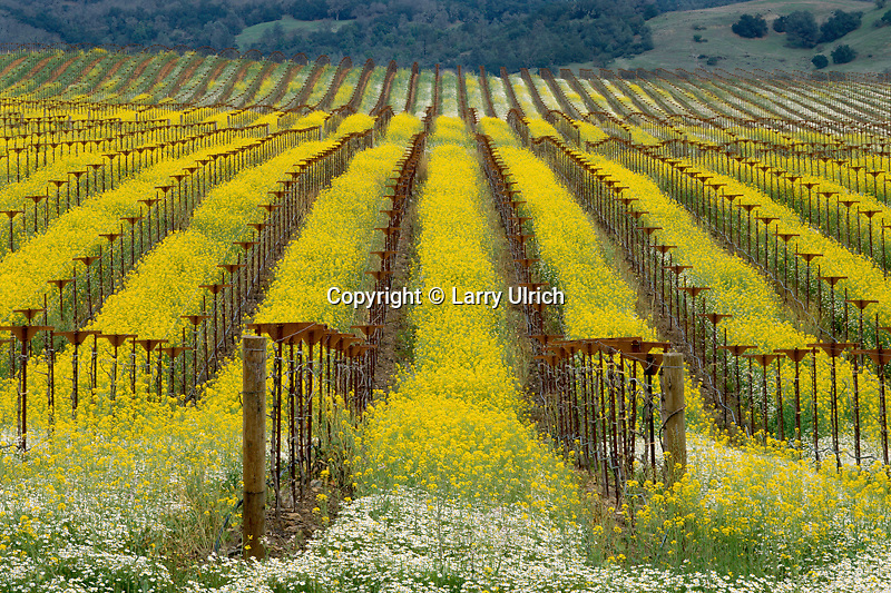 Daisies &amp; mustard in vineyards<br />