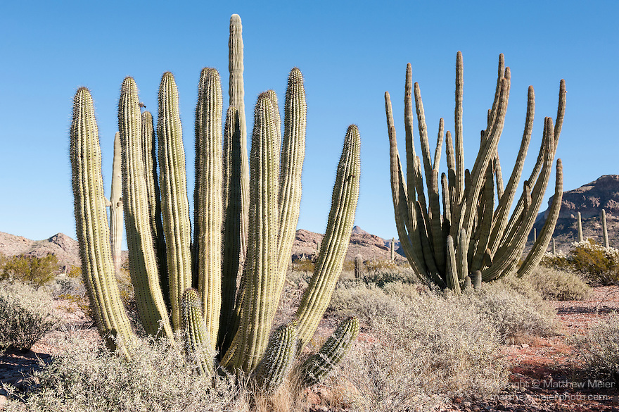 Organ Pipe Cactus National Monument, Ajo, Arizona; several large Organ Pipe Cactus against a blue sky background in early morning sunlight