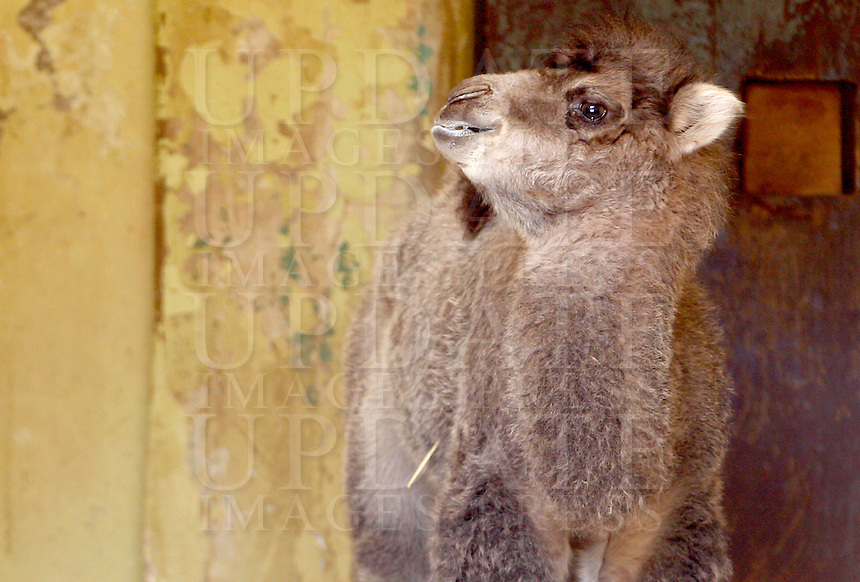 Amelia, femmina di Cammello della Battriana, nata lo scorso 25 marzo, con la madre Soraya al Bioparco di Roma, 10 aprile 2013..Amelia, a baby female Bactrian Camel born on last 25 March, stands at Rome's Bioparco, 10 April 2013..UPDATE IMAGES PRESS/Riccardo De Luca