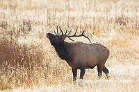 01980-02918 Elk (Cervus elaphaus) bull male bugling, Yellowstone National Park, WY