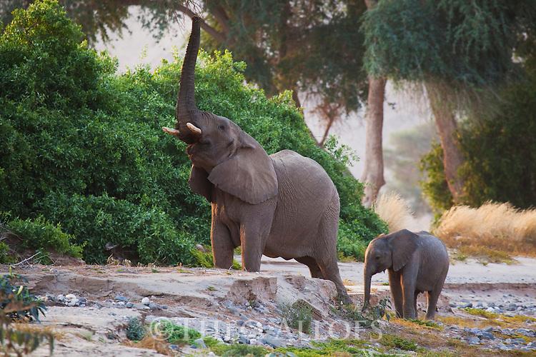 Namibia;  Namib Desert, Skeleton Coast,  desert elephant (Loxodonta africana) mother and calf feeding in dry river bed