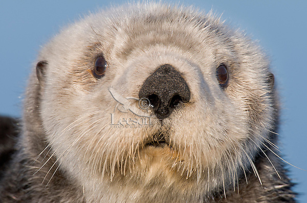 Adult Alaskan or Northern Sea Otter (Enhydra lutris).  Alaska.