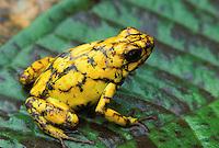 Poison-dart Frog; Dendrobates sylvatica; Ecuador, Prov. Esmeraldas. Rio Canande