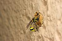 Pillenwespe, Lebensweise, Verhalten, Serie Nestbau, Nest aus Lehm, Brutzelle, Eumenes mediterraneus, Potter wasp, Pillenwespen, Lehmwespen, Töpferwespen, Töpferwespe, Solitäre Faltenwespen, Eumenidae, Potter wasps, mason wasps