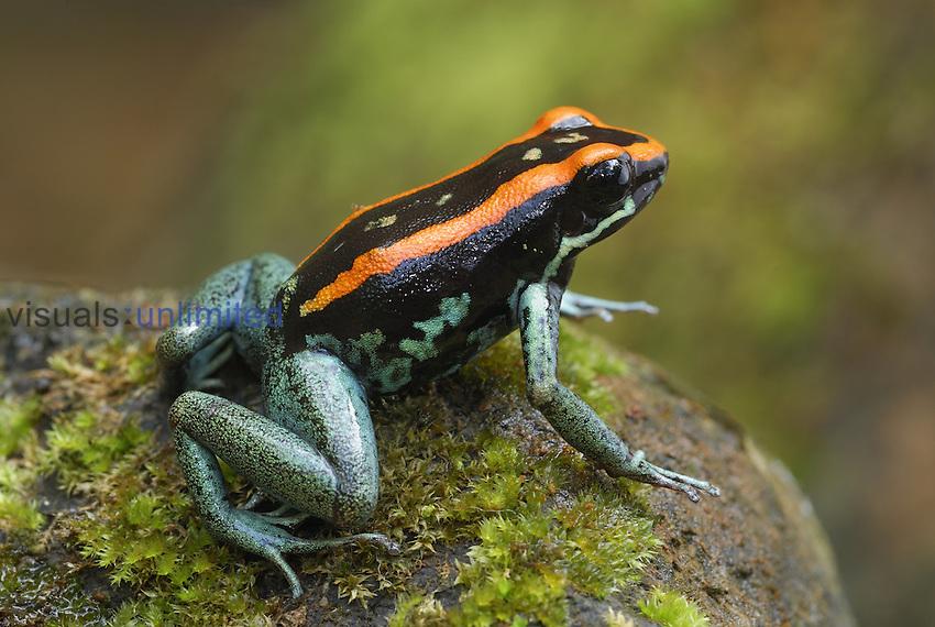 Orange and Black Poison-dart Frog (Phyllobates vittatus), Corcovado National Park, Costa Rica