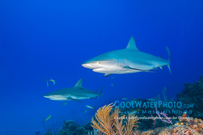 Caribbean Reef Sharks, Carcharhinus perezi, swimming over coral reef, West End, Grand Bahama, Atlantic Ocean