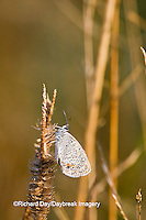 03226-01111 Eastern Tailed-Blue (Everes comyntas) butterfly in early morning dew, Marion Co. IL